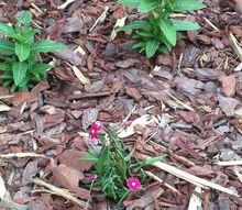 problems with flowers, flowers, gardening, Vinca problems