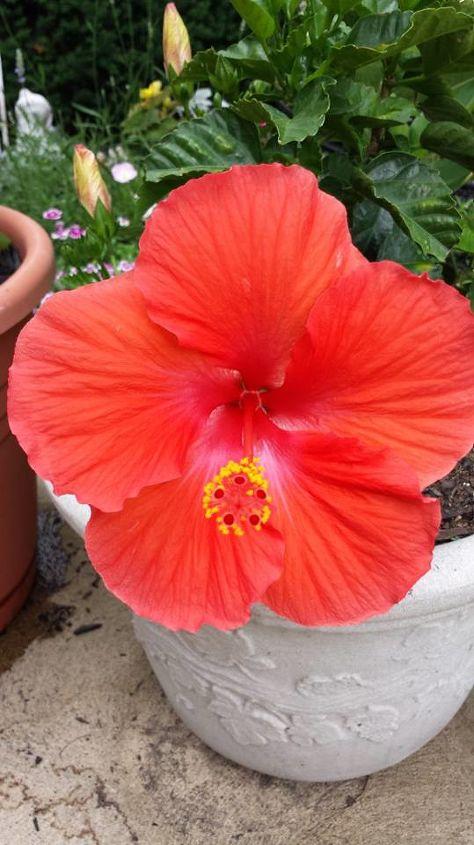 Coffee Grounds Amp Superthrive Feeds My Hibiscus Hometalk