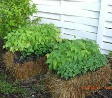 my straw bale garden at 4 weeks, flowers, gardening, The Green and Wax Beans starting to flower