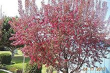 my humming crabapple tree, gardening