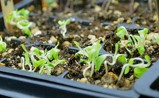 how to start seeds indoors, gardening, homesteading, See more at