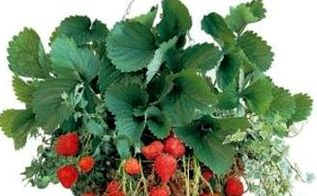 growing your own strawberry patch, container gardening, gardening, Hanging baskets are a great way to grow strawberries
