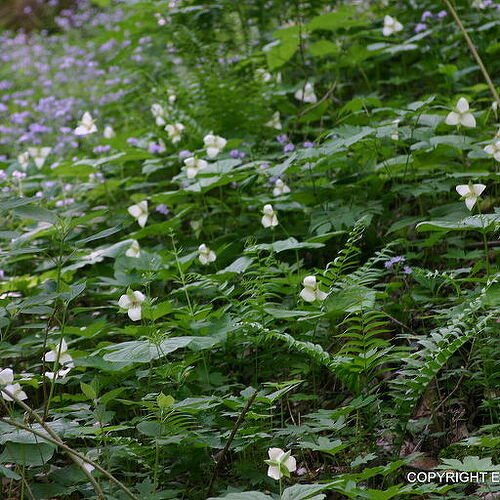 Christmas fern and wildflowers