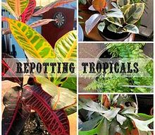 how to re pot your houseplants, gardening, Croton Rubber Plant Boston Fern Staghorn Fern