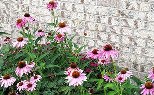 purple coneflower the butterfly lovers perennial, flowers, gardening, perennials, pets animals