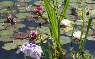 landscaping, outdoor living, ponds water features, Water Iris and water lilies