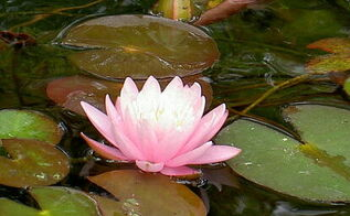 hardy water lily fall tips and tricks, gardening, outdoor living, ponds water features, Hardy Water Lily Courtesy of Poseidon Plants