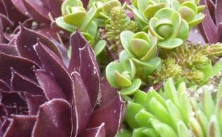sempervivum hens and chicks ya know are so perfect with sedum, container gardening, gardening, Who knew that these plants combined so well Sempervivum and Sedum need the same kinds of growing conditions so grow them together in a big container or a green roof
