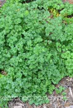 how to dry herbs, flowers, gardening, I only cut away about 75 of this parsley plant I want to allow the plant to come back not for more parsley instead I am leaving a little food for the monarch larvae They will strip every last parsley leaf come back and do it over and over