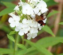 hummingbird moth, gardening