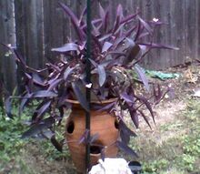 q unknown purple plant, flowers, gardening, crazy out of control plant