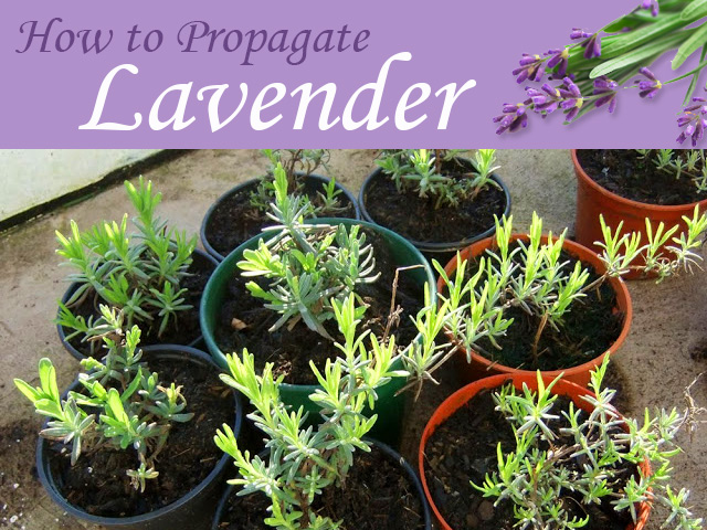 plants for free how to propagate lavender hometalk. Black Bedroom Furniture Sets. Home Design Ideas