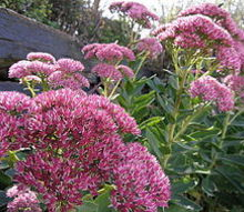 the bee attraction, gardening, The vibrant fall pink color is incredible