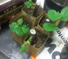 a friend of mine conducted an experiment with some cuttings from a local fig tree, gardening, These cuttings received the root hormone treatment