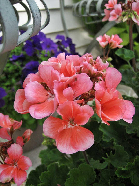Making the most of a small patio hometalk - Care geraniums flourishing balcony porch ...