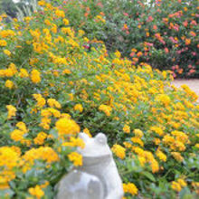 planting a landscape in the fall, gardening, New Gold Lantana in September