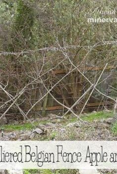 learn how to prune an espaliered belgian fence of apple and pear trees, fences, gardening