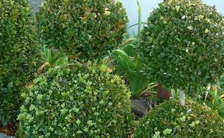 buxus cuttings tutorial, gardening, And this is what you can have they are due for their winter trim so look a wee bit scruffy