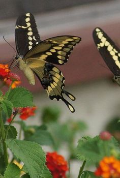 butterflies amp lantana, gardening, pets animals, Swallow Tail Butterfly