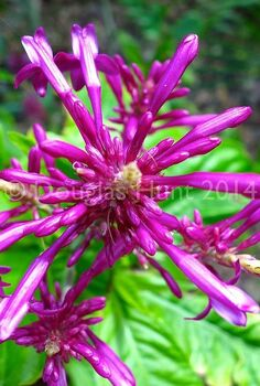 the other firespike, flowers, gardening, Another view of the flowers