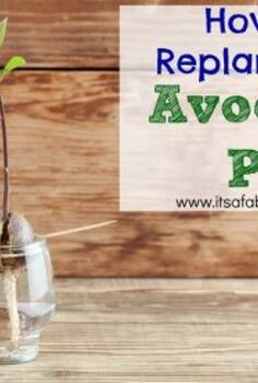 how to replant your avocado pit, gardening