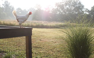 how to keep backyard chickens happy in the winter, homesteading, pets animals, I have a feeling it s scenes like this that our chickens dream about in the winter