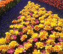 a magical visit to the skagit valley tulip festival, gardening, RoozenGaarde display garden