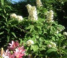 may flowers, flowers, gardening, hydrangea, Oak leaf hydrangea and Lillie s