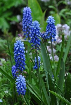 get an jumpstart on spring with small scale bulbs, flowers, gardening, If you haven t considered planting Grape Hyacinths or Muscari in the last few years be sure to check out some of the newer varieties Blue Magic is two toned and Ocean Magic has white tipped flowers that are cobalt blue