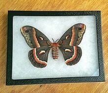 moth for wall art, crafts, home decor, Final display