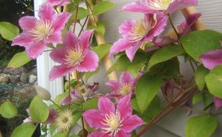 clematis confusion pruning clematis, gardening, Beautiful pink clematis with large 6 inch blooms climbs up a trellis