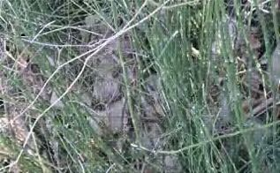 q does alligator grass grow anywhere outside of louisiana and can it be transplanted, landscape, I was told it was Alligator grass but seeing Alligator grass this is not it