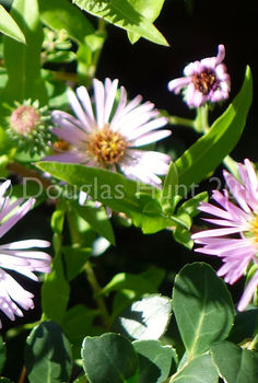 a wonderful aster for the south, flowers, gardening, Close up of the flowers