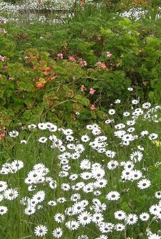 wild flowers a delight for all garden lovers, flowers, gardening, Namaqualand daisies