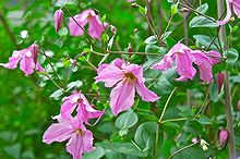 clematis henryetta, flowers, gardening, Clematis Henryetta on a trellis in the Driveway Garden this week