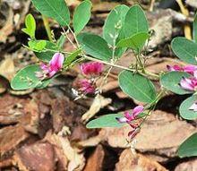 cassia pink, flowers, gardening