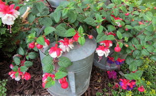 garden junk fuschias, gardening, outdoor living, repurposing upcycling, Watering can and roller scrub pail