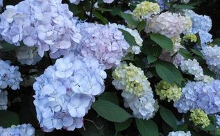 hydrangeas, flowers, gardening, hydrangea, Beautiful blue fluffy blooms