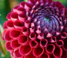 the summer of dahlias, gardening, Loved this dahlia its perfectly symmetrical petals