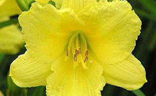 happy returns daylily a perennial a week, flowers, gardening, perennials, Photo source Green gate Farms