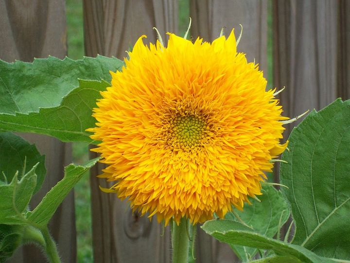 I grew this teddy bear sunflower from seed last year and was wondering are there any other sunflower varieties that are easy to grow?I like the darker burgundy and chocolate colors and the lemon ice.I like to stick to easy flowers since im a rookie