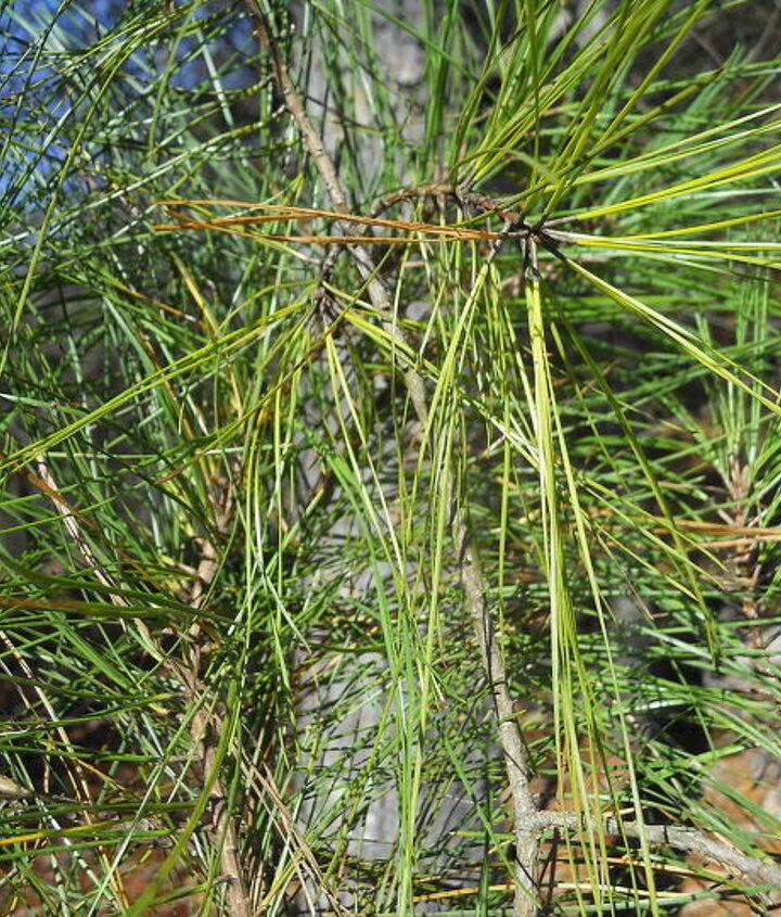Simply a southern pine tree limb, I added pinecone limbs.