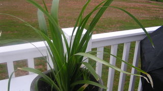 q a question about a plant, gardening, Here is a pic of the plant
