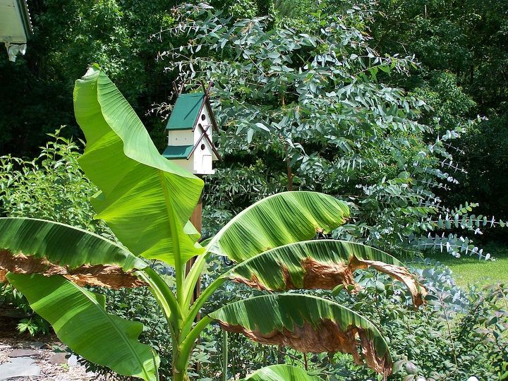 banana tree, gardening