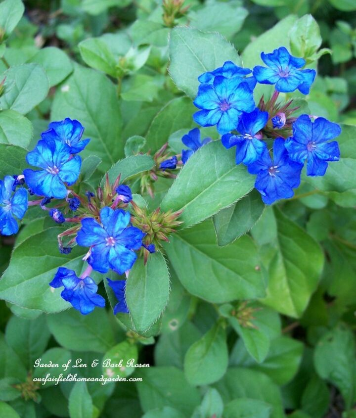 Everybody's favorite date ~ Plumbago goes with anything! Plus, it brings blue to your garden.