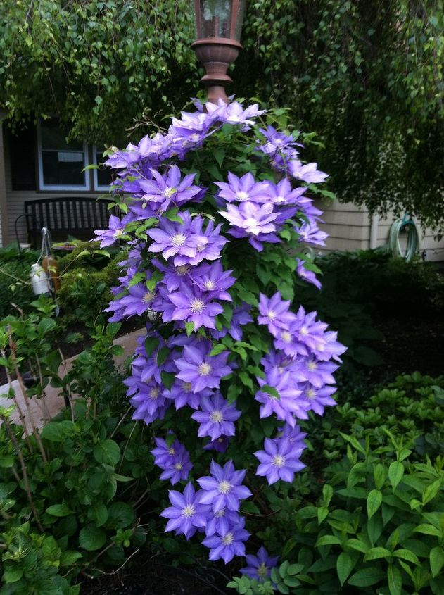 garden, gardening, Clematis on light post wish it stayed like this all summer