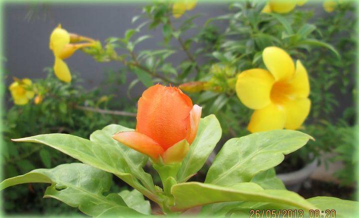 Rose cactus with Allamanda in the background.
