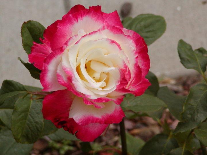 roses, gardening