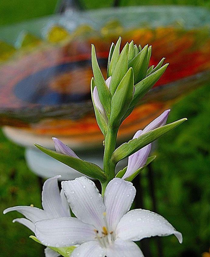 garden photos, gardening, Hosta buds in front of my birdbath