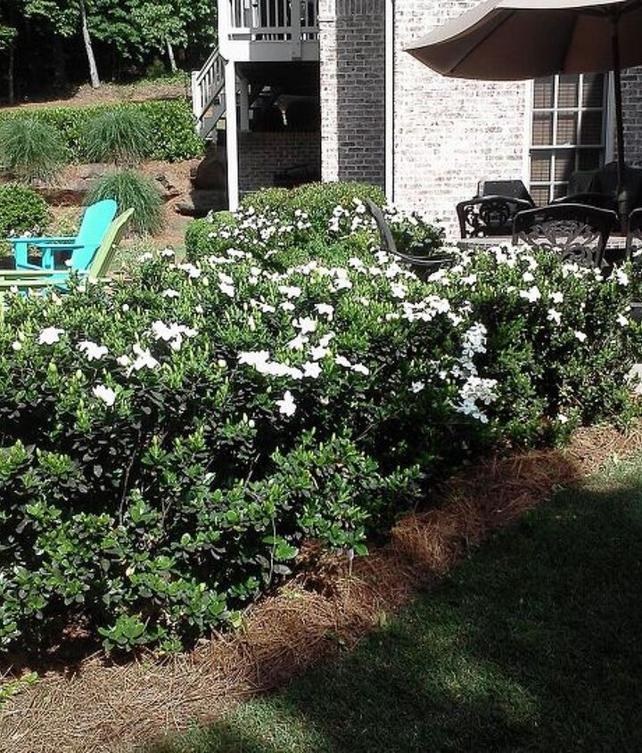 i m sure someone will know what these shrubs are, gardening
